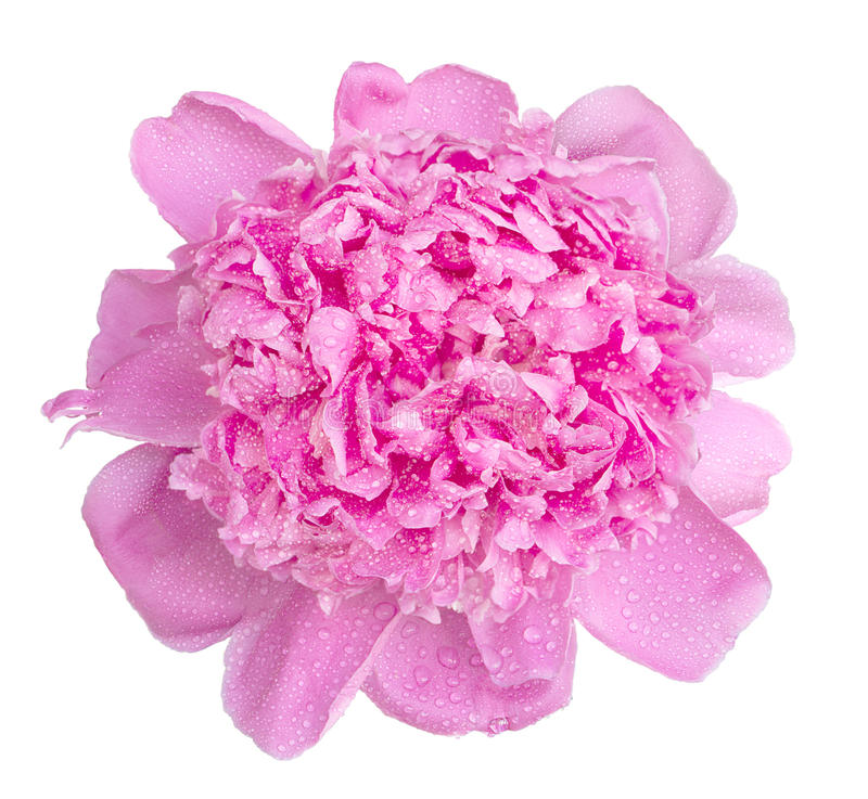 Mjuka rosa färger blöter den isolerade pionblommamakroen royaltyfri bild