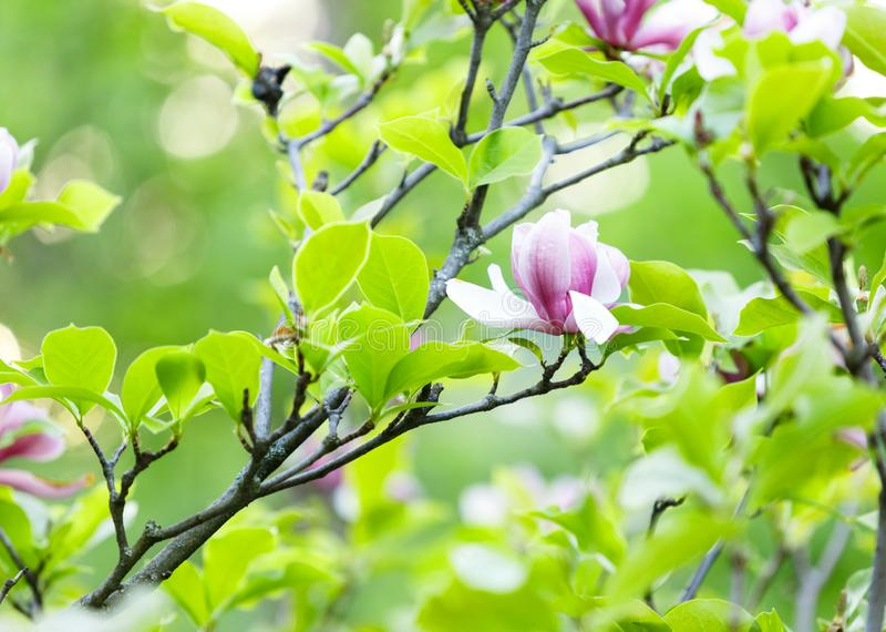 Mjuka rosa magnoliablommor med gröna sidor i trädgården under sunlights Magnoliaträd i parkerar Vår natur arkivfoton