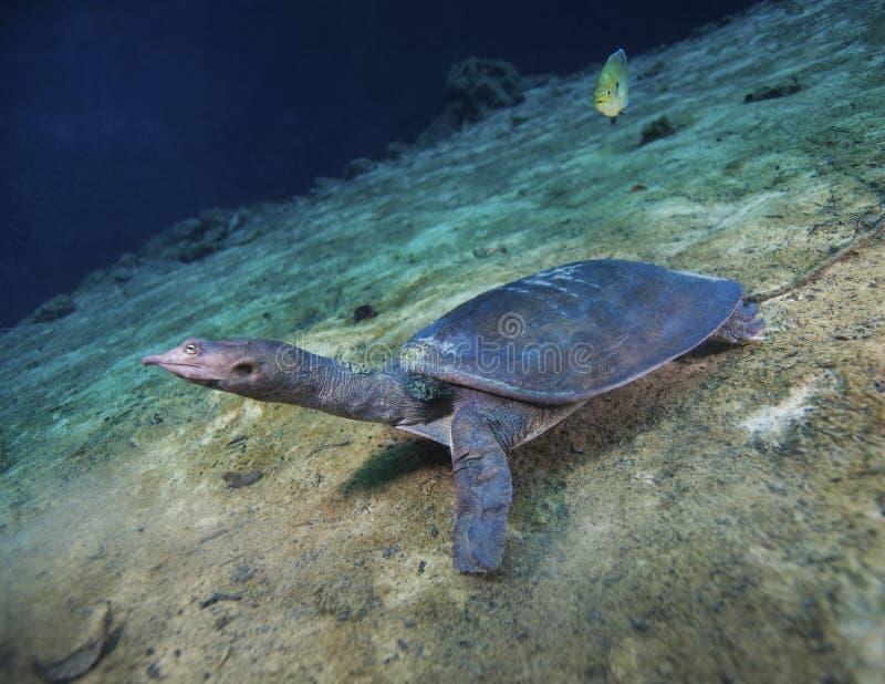 Mjuka Shell Turtle - går ner sluttning arkivfoton