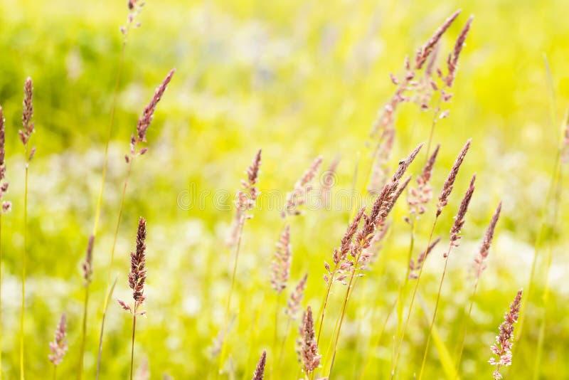 Mjuka spikelets av gräs i de ljusa strålarna av solen i fältet arkivfoto