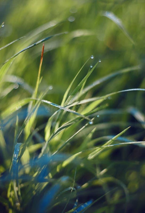 Mjuka unga nya gräsställningar i daggdroppar arkivfoton
