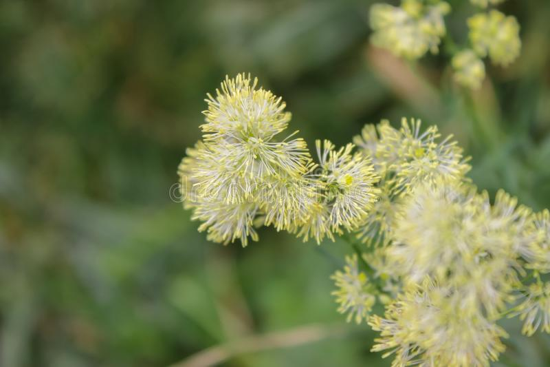 Mjukhet och softness av ett litet blommaslut upp royaltyfri fotografi