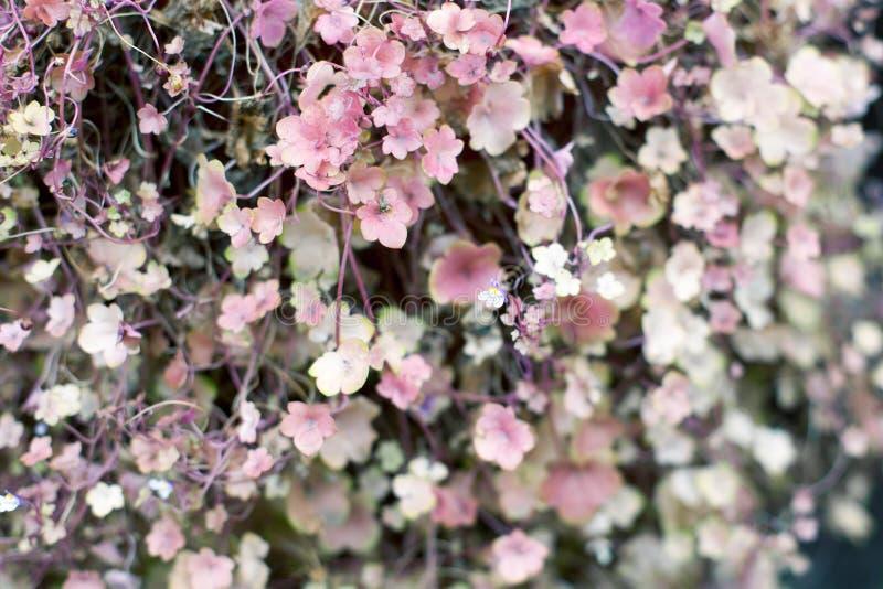 Mjukt litet rosa och gr?nt malvaf?rgat slut f?r sida- och blommabakgrundstextur upp makrokl?ttrare, gillyflowers, morgonh?rlighet arkivfoto