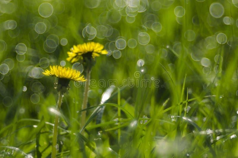 mlecz świeżości pojęcia pokoju, łąkowi przydatnych tematów wiosennego obrazy royalty free