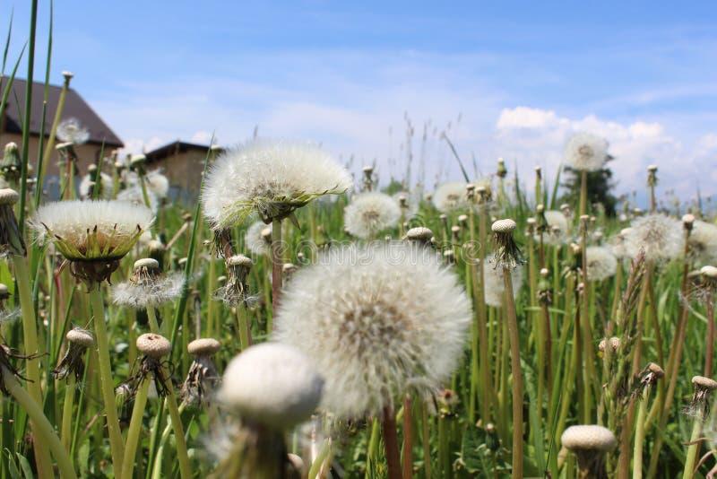 mlecz świeżości pojęcia pokoju, łąkowi przydatnych tematów wiosennego obraz stock