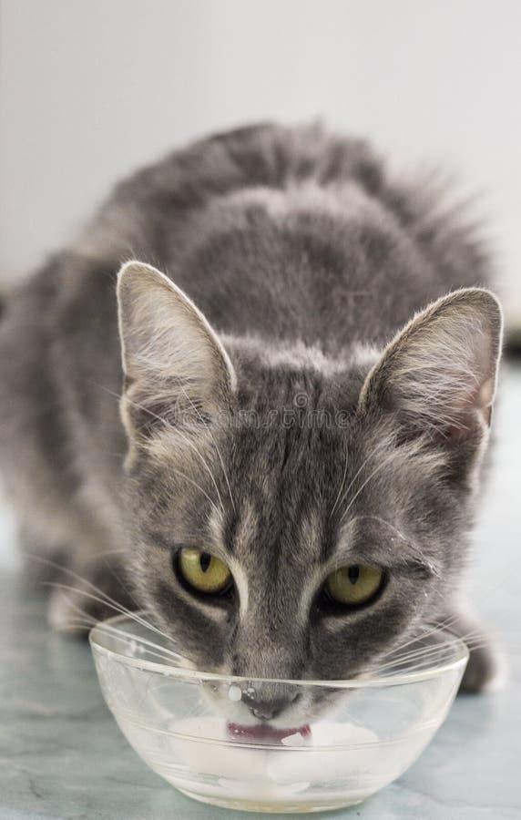 mleko kota zdjęcie royalty free
