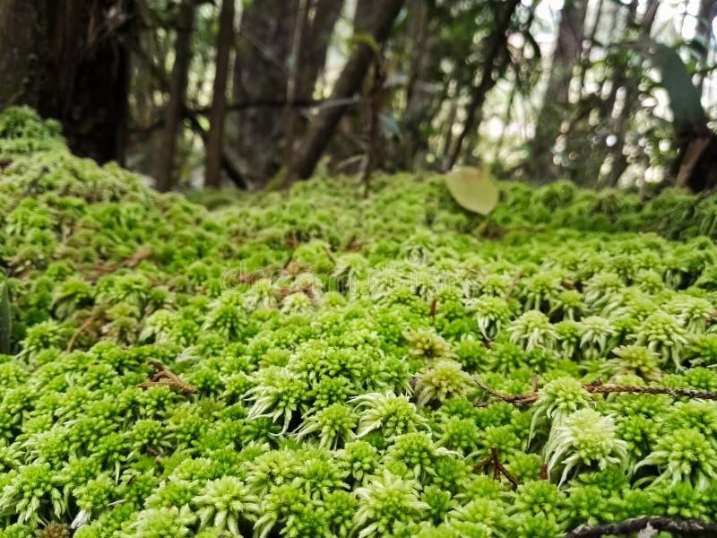 Mmoss-Bryophyta der grünen Farbe, Schicht der Blattsänfte auf einem Waldboden bildend lizenzfreie stockfotos