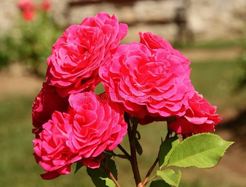 Mnóstwo różowi okwitnięcia menchii róża w kwiacie Ja przypomina kwiaciarnia przygotowywającym bukietem awesomeness fotografia stock