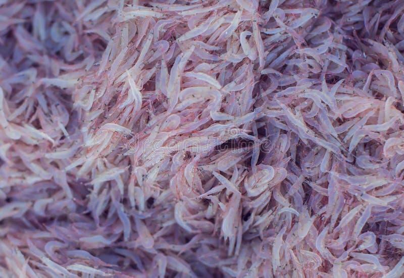 Mnóstwo świeża krill garnela zdjęcie stock