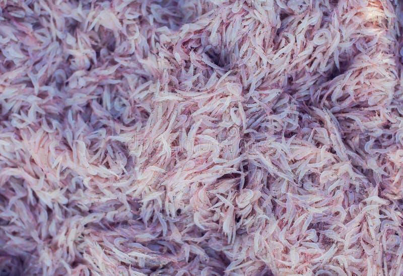 Mnóstwo świeża krill garnela zdjęcie royalty free