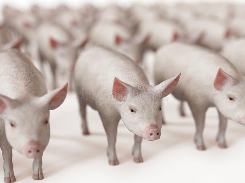Mnóstwo świnie ilustracji