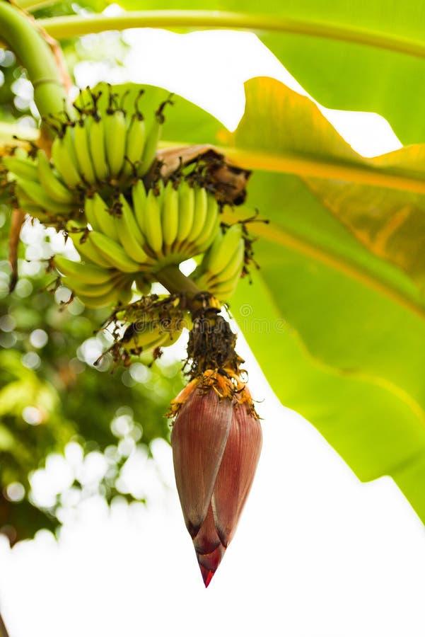 Mnóstwo banany na drzewie Kwitnący banan, Louangphabang, Laos Zakończenie pionowo fotografia stock
