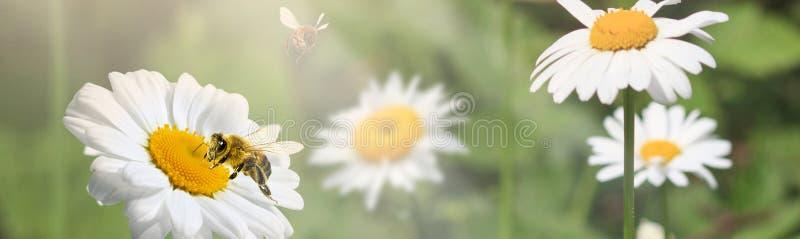 Mnóstwo chamomile w lato łące w naturze w świetle słonecznym przy zmierzchem i latającym bumblebee Piękny lato krajobraz z polem zdjęcia stock
