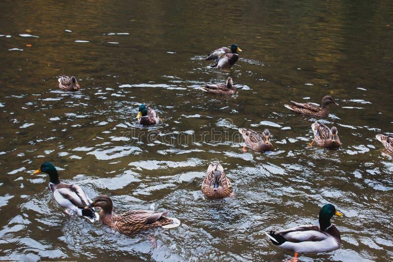 Mnóstwo dzikie kaczki unosi się na jeziorze obraz stock