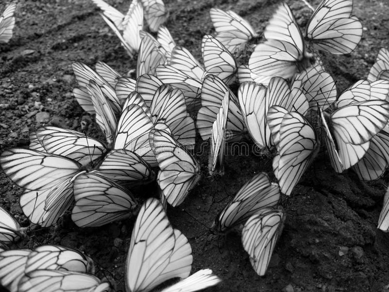 Mnóstwo fladrujący kapuścianego motyla obsiadanie na mokrej ziemi i biel fotografia stock