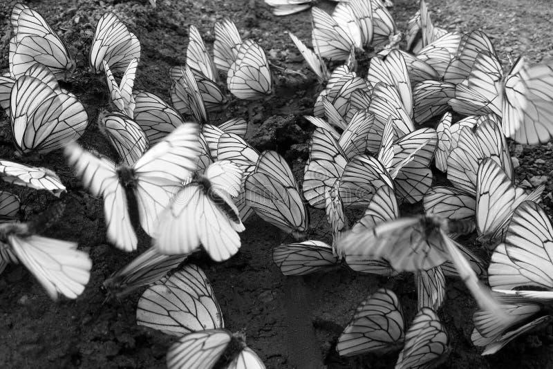 Mnóstwo fladrujący kapuścianego motyla obsiadanie na mokrej ziemi i biel zdjęcie royalty free