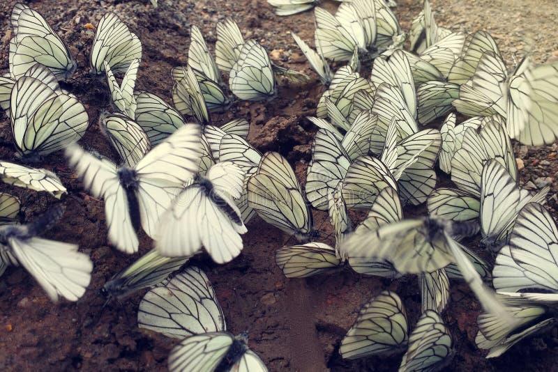 Mnóstwo fladrujący kapuścianego motyla obsiadanie na mokrej ziemi i biel zdjęcia stock