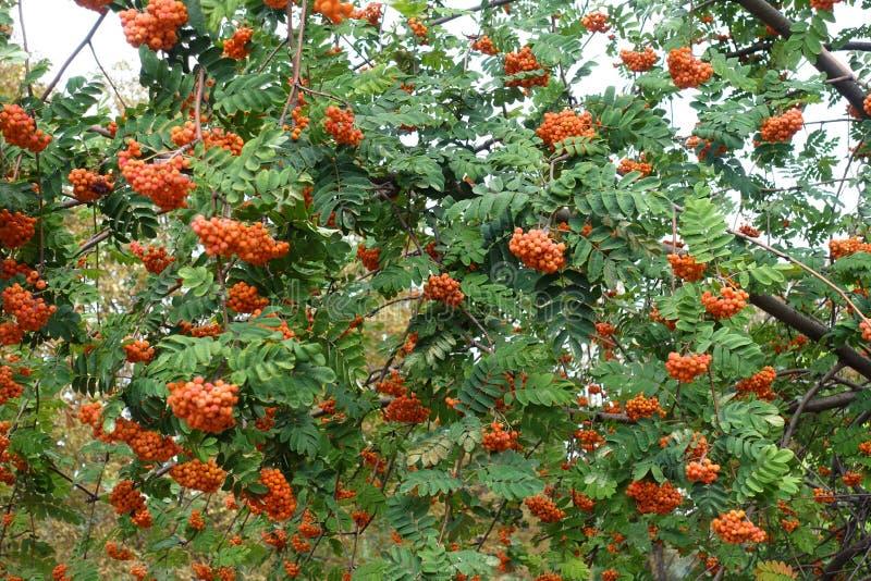 Mnóstwo jagody w leafage Sorbus aucuparia w Wrześniu zdjęcia stock