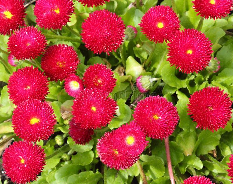 Mnóstwo kwiat stokrotki na tle zielony ulistnienie zdjęcie stock