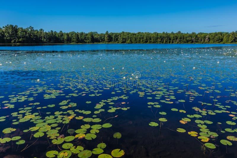 Mnóstwo leluja ochraniacze na jeziorze zdjęcie royalty free