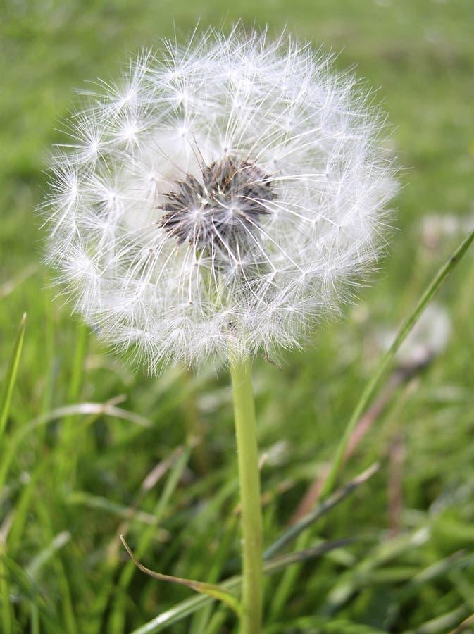 Download Mniszek obraz stock. Obraz złożonej z trawy, ziarna, fielder - 35759