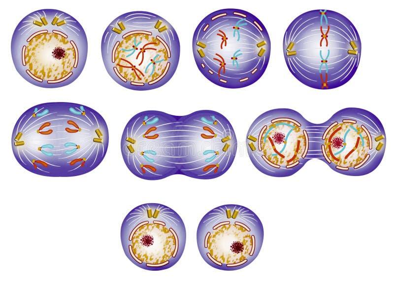 Mnożenia i komórki cykl royalty ilustracja
