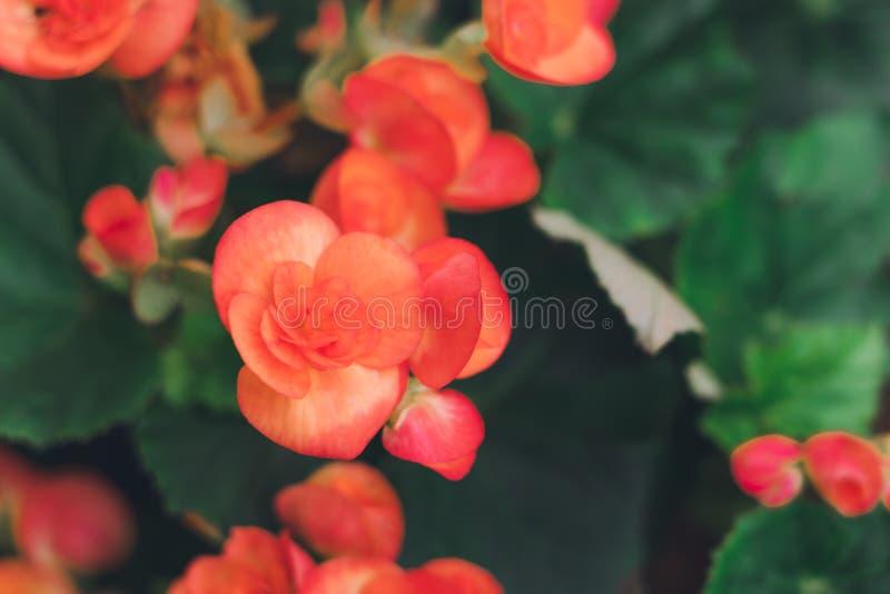 Mnodzy jaskrawi kwiaty tuberous begoni begoni tuberhybrida w ogr?dzie fotografia royalty free