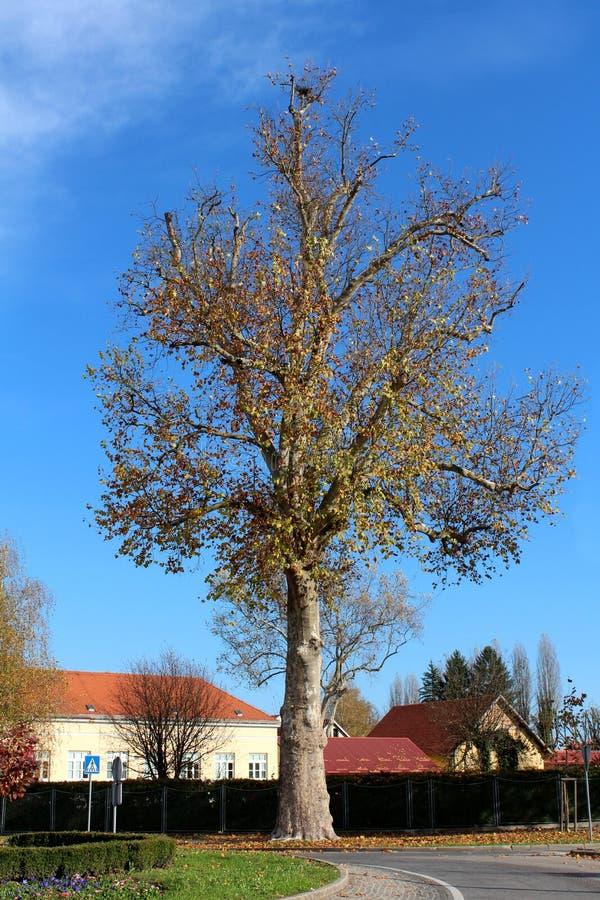 Można stara wysokiego drzewa powstająca wysokość nad brukujący uliczni domy w tle za wysokim żywopłotem otaczającym z spadać i ro zdjęcie royalty free
