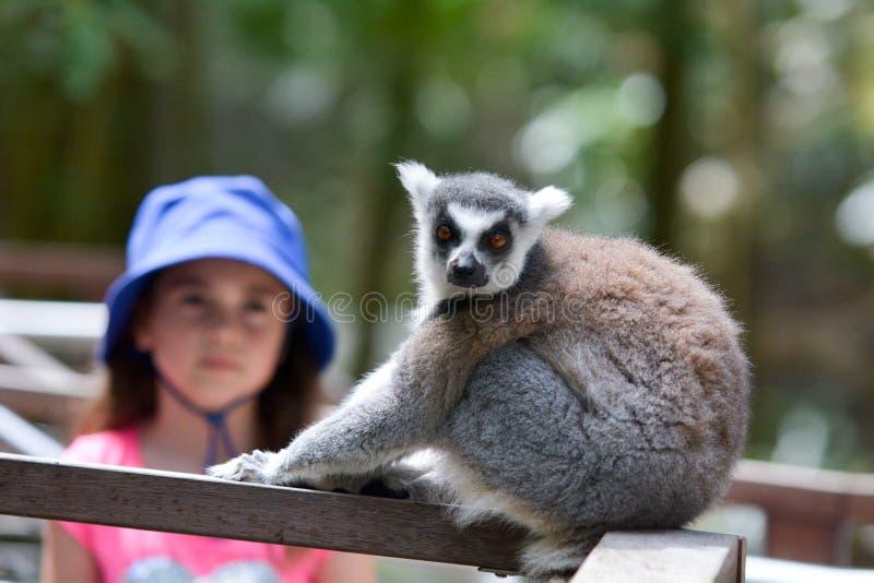 Moça que olha o primata Anel-atado do lêmure imagens de stock royalty free
