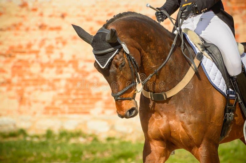 Moścący koń z jeźdzem przed rywalizacją Rozgrzewka obrazy royalty free