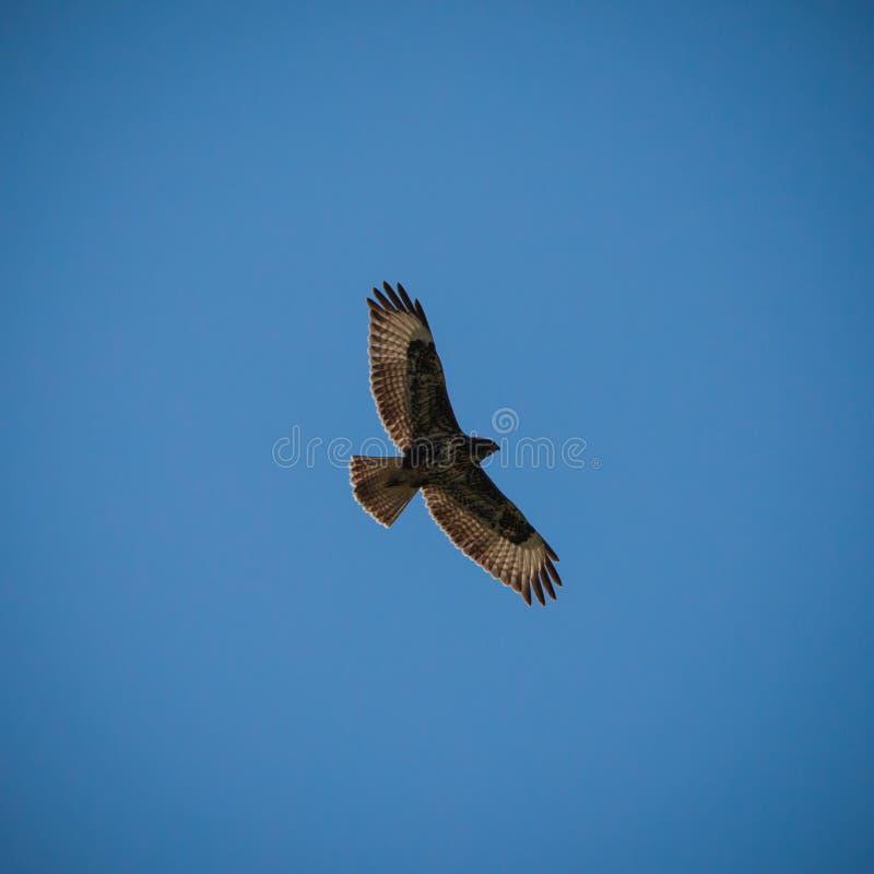 Możnego orła latająca wysokość w pięknym błękitnym chmurnym niebie pokazuje swój sylwetkę obraz stock