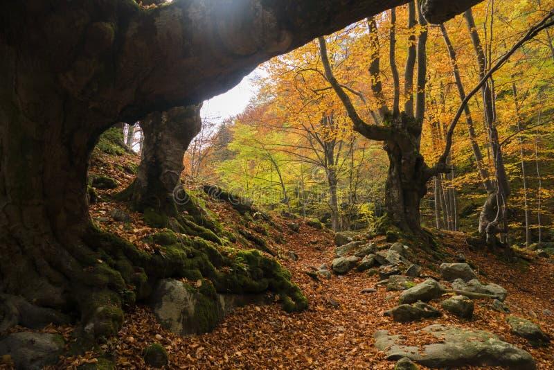 Możni drzewa w jesieni obrazy stock