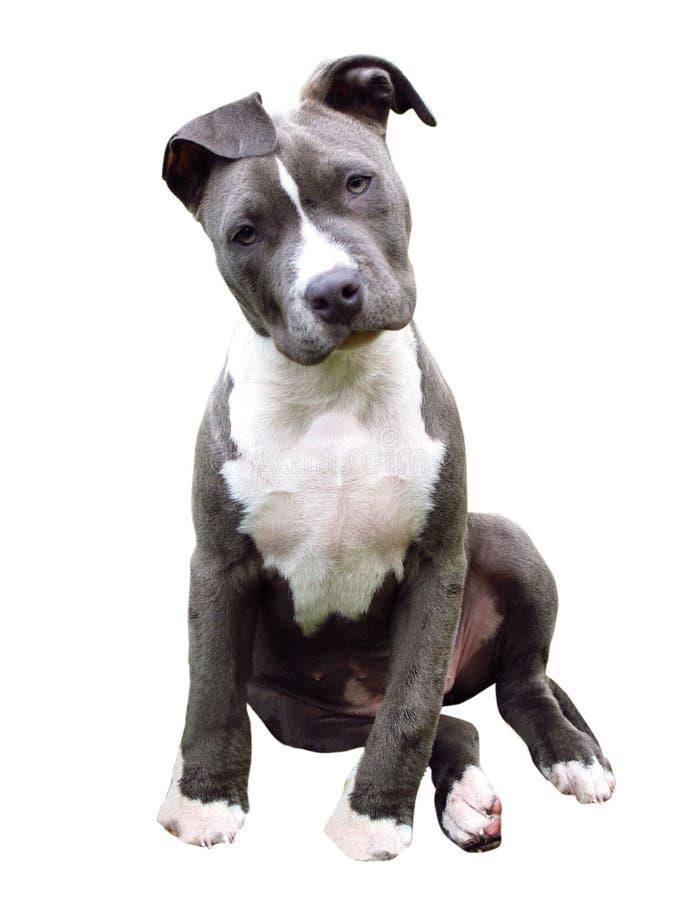 Możny pies obrazy royalty free