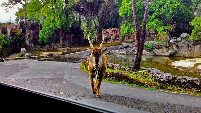 Możny rogu eland byk zdjęcia royalty free