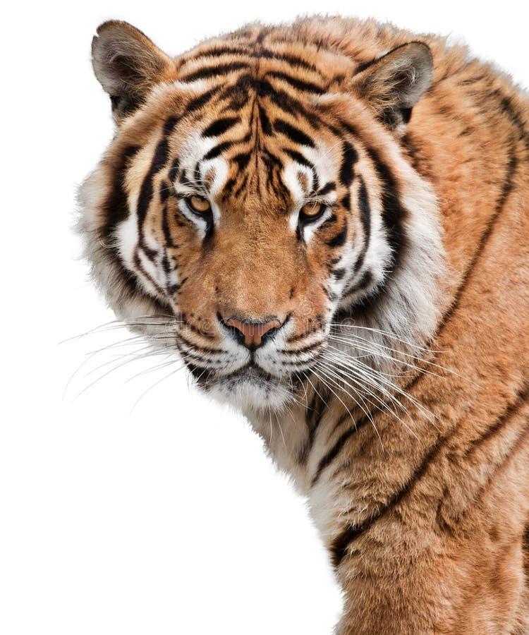Możny tygrys obrazy royalty free