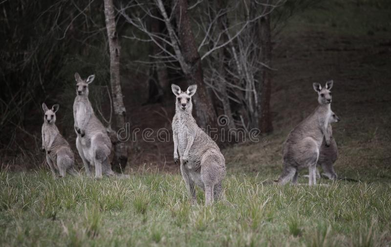 Mob of kangaroos in bushland. A small mob of Eastern Grey kangaroos I came across in the bushland stock photo