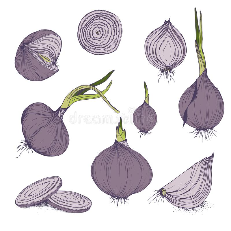 Vector food clip art set of onions hand drawn isolated vegetables purple and green color stock illustration