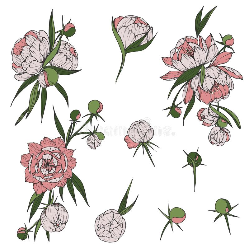 Floral clip art with peony flowers hand drawn botany isolated illustrations vector illustration