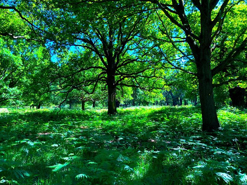 Tall tree canopy in the Spring royalty free stock images