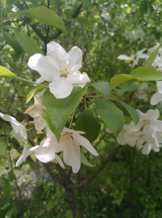 Apple tree in bloom. Mobilestock apple flowers tree bloom royalty free stock image