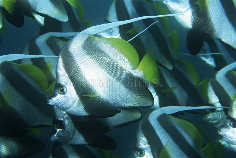 Mocambique Indiska oceanenskola av närbilden för kuskfisk (den Heniochus acuminatusen)