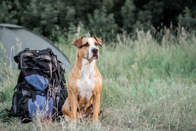 Mochila que camina con un perro: el terrier de Staffordshire se sienta al lado de una mochila turística en un camping fotografía de archivo
