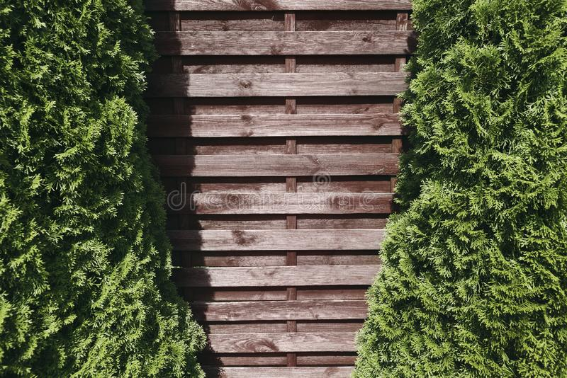 Mock up old brown wall of wooden planks and two spruce trees on royalty free stock images