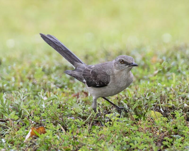 The Mocking Bird stock photos