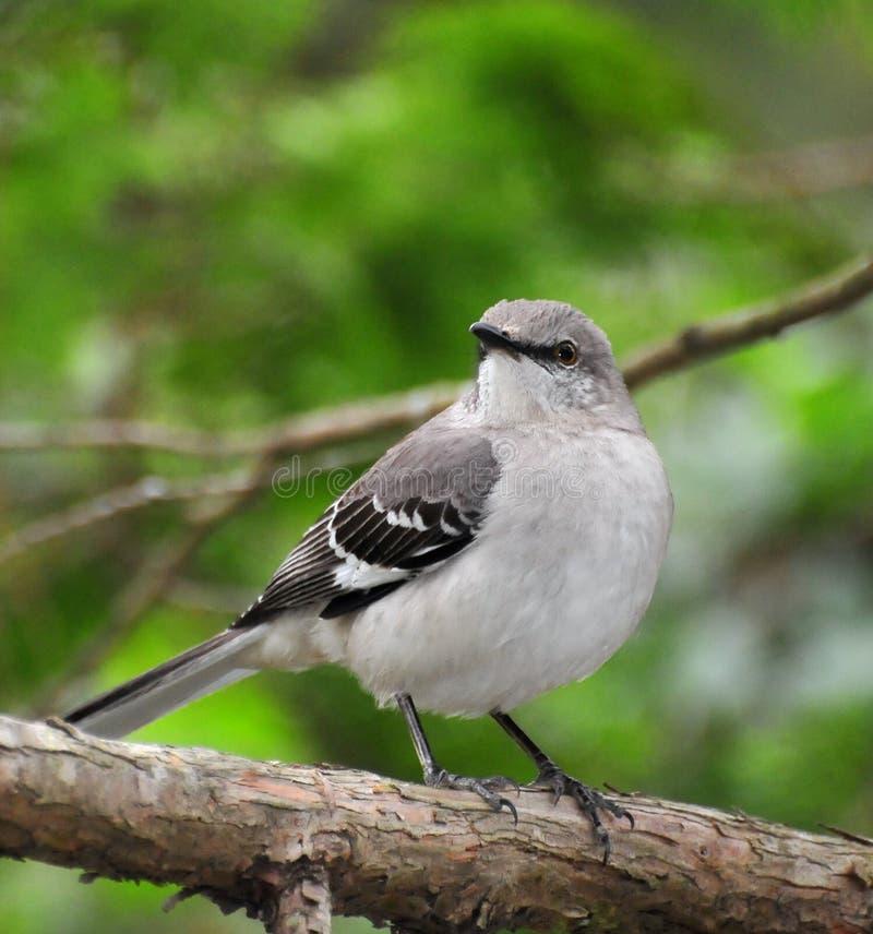 mockingbird βόρειος στοκ εικόνα