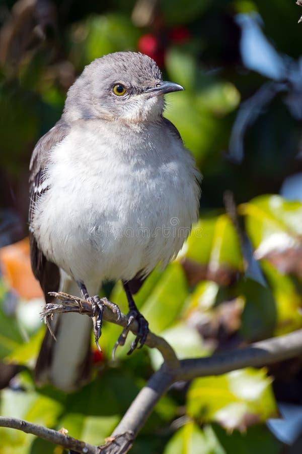mockingbird клиппирования 3d северный над белизной тени перевода путя стоковое фото