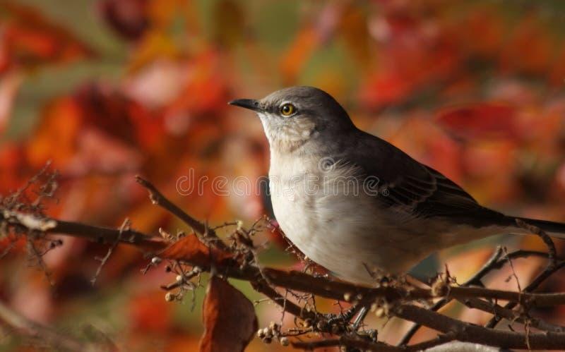Mockingbird fotografie stock libere da diritti