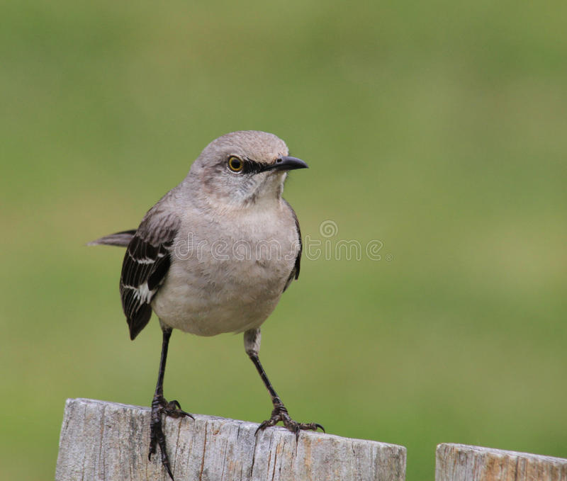 Mockingbird fotografia stock