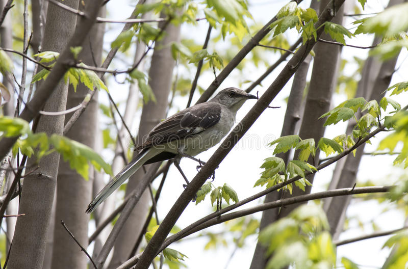 mockingbird royalty-vrije stock foto's