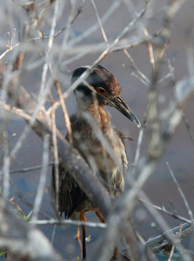 mockingbird obrazy royalty free